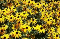 Rudbeckias rule!