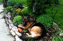 Teiko watches the garden grow