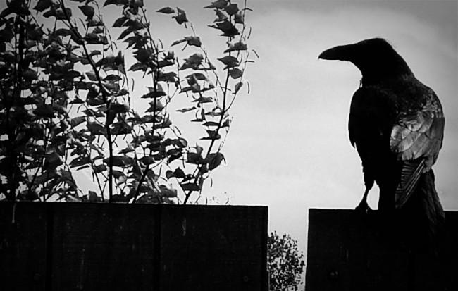 raven_fence